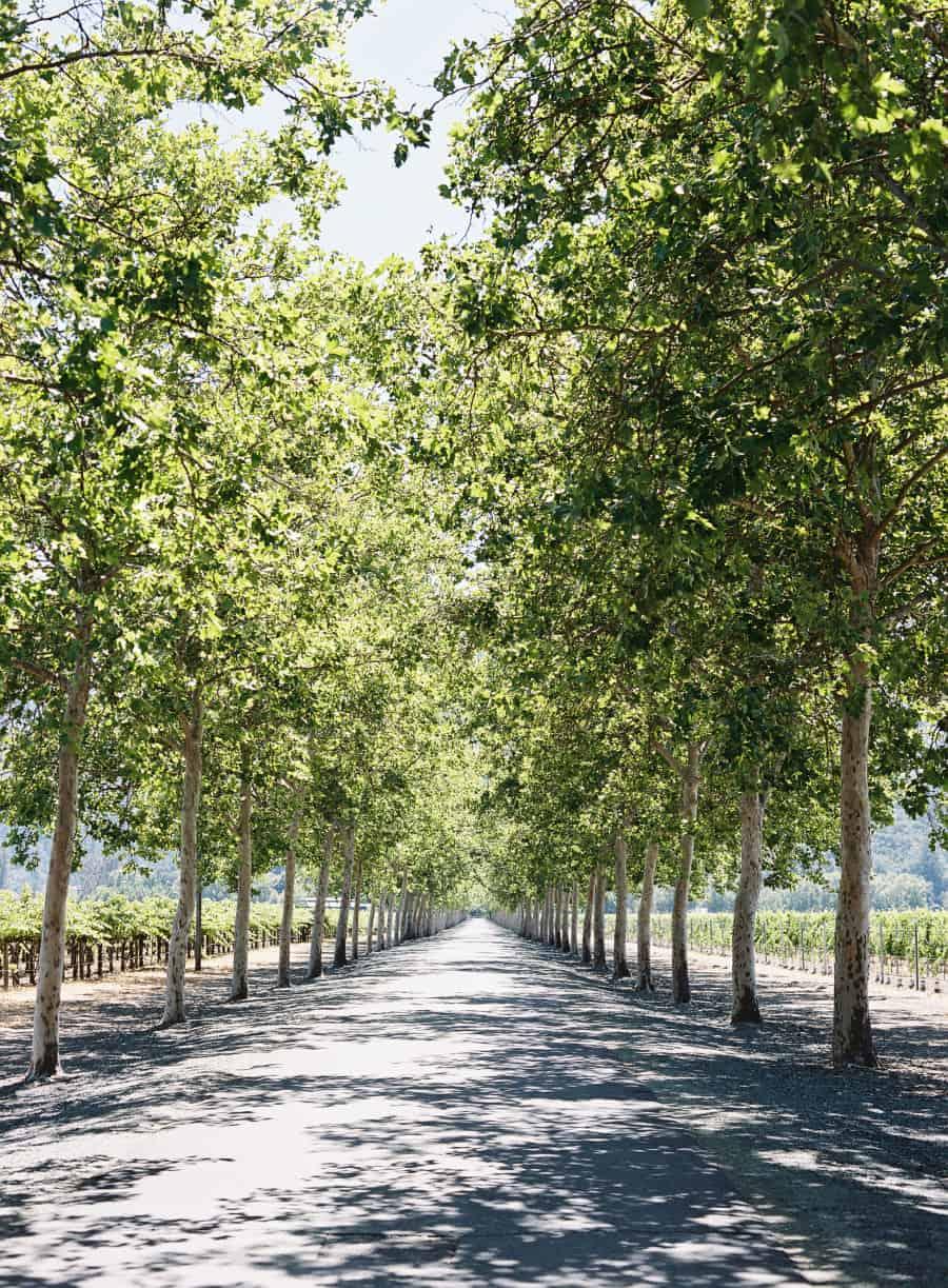 tree lined road at beaulieu garden in napa