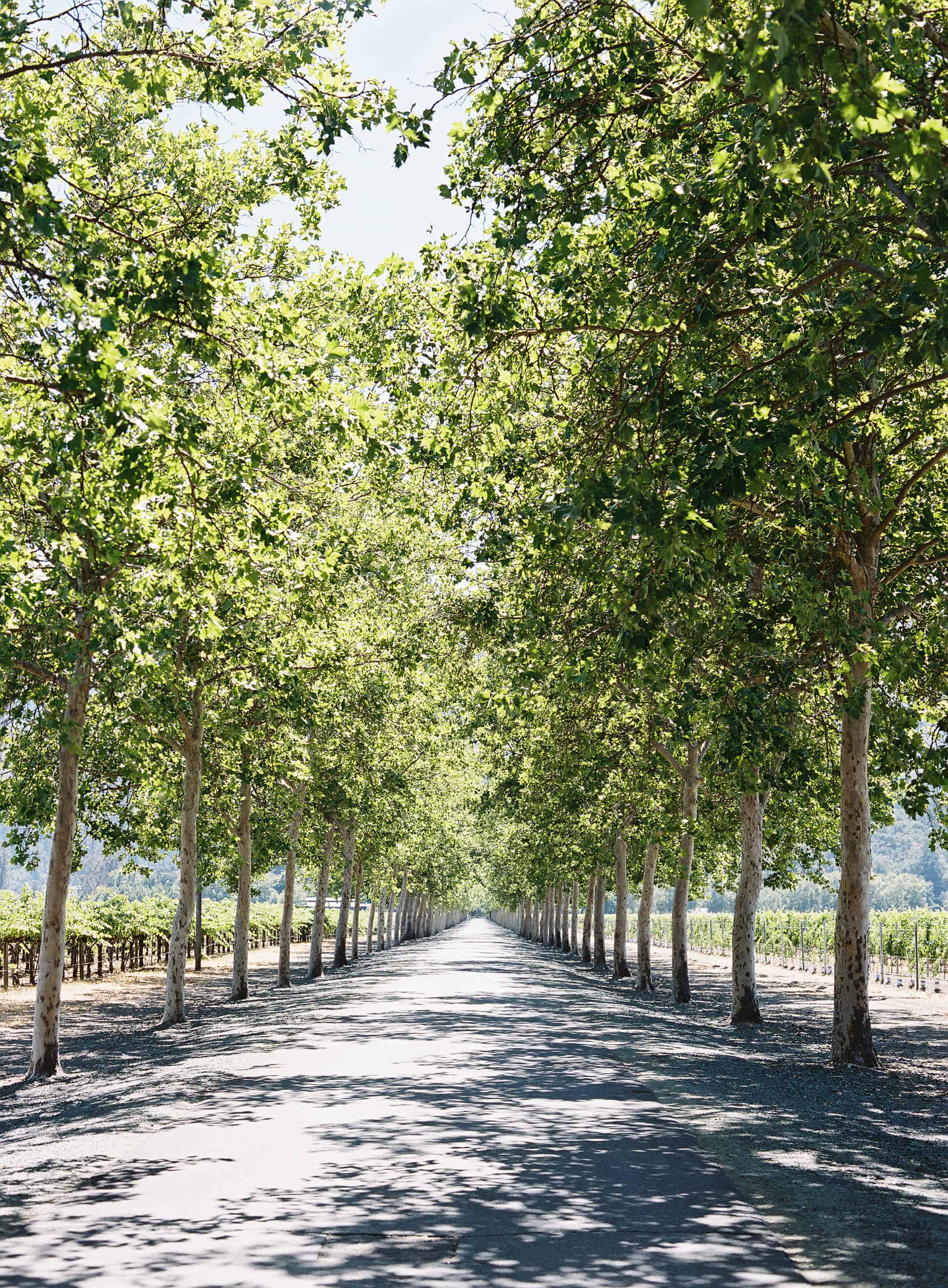 tree lined road at beaulieu garden in napa