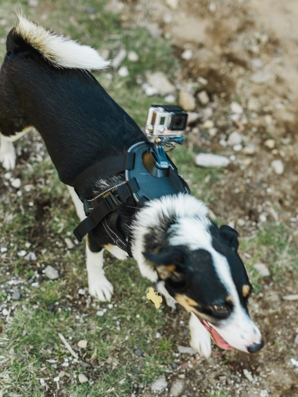 dog with gopro mounted to its back