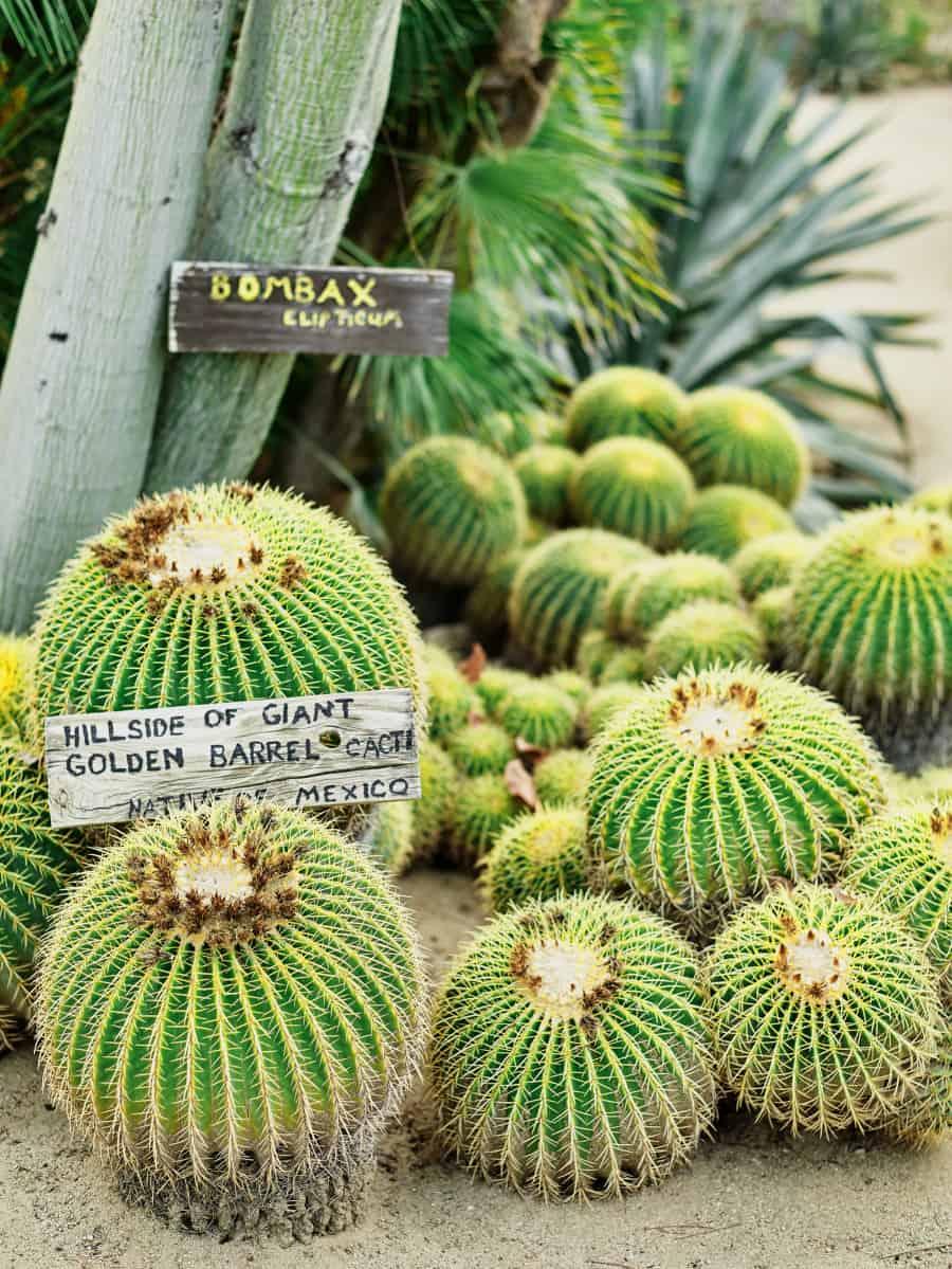 giant golden barrel cacti