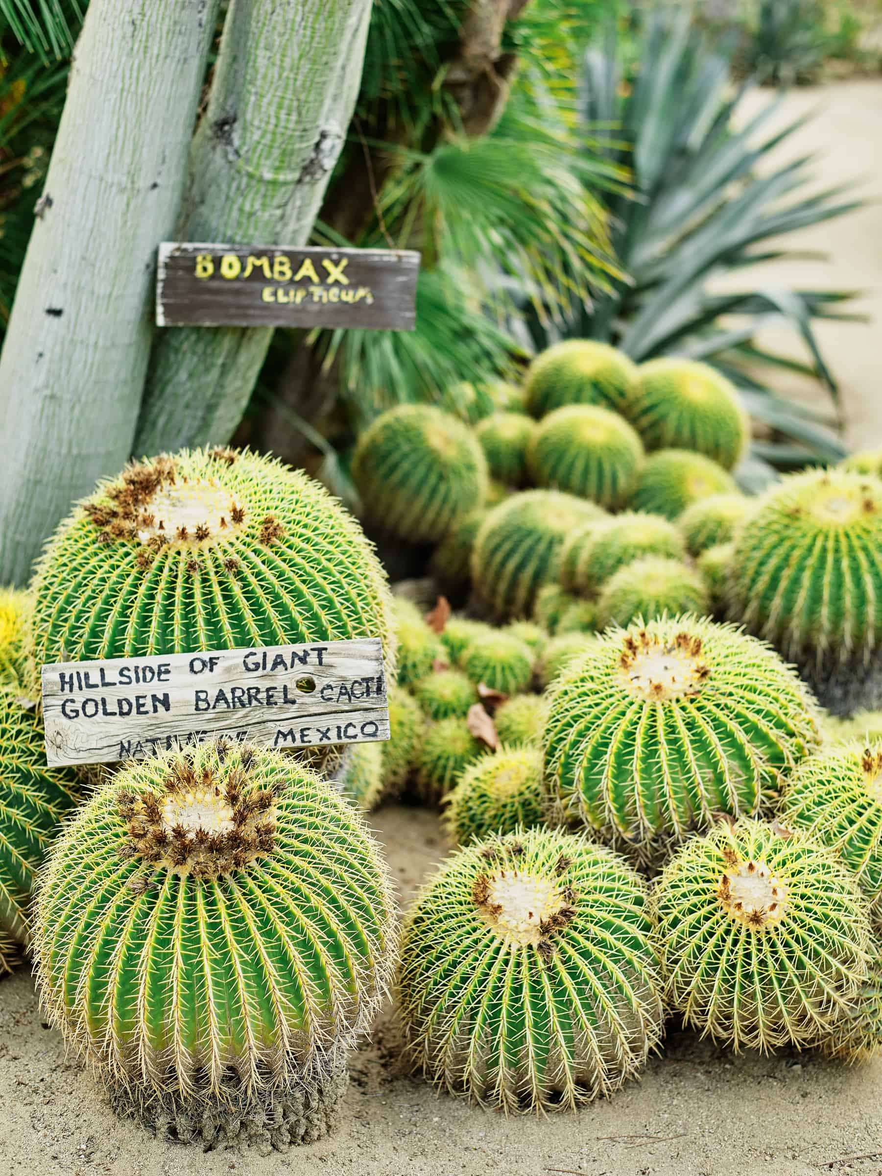 giant golden barrel cacti